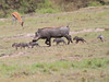 Warthog Family on the move Mara Topi House