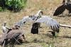 Ruppell's Griffon Vulture Mara Topi House