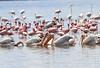 Lake Naivasha Kenya White Pelican Flaming