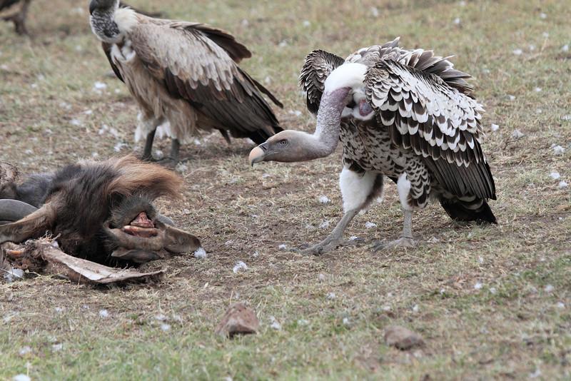 Ruppell's Griffon Vulture Topi House Mara
