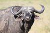Cape Buffalo Mara Topi House