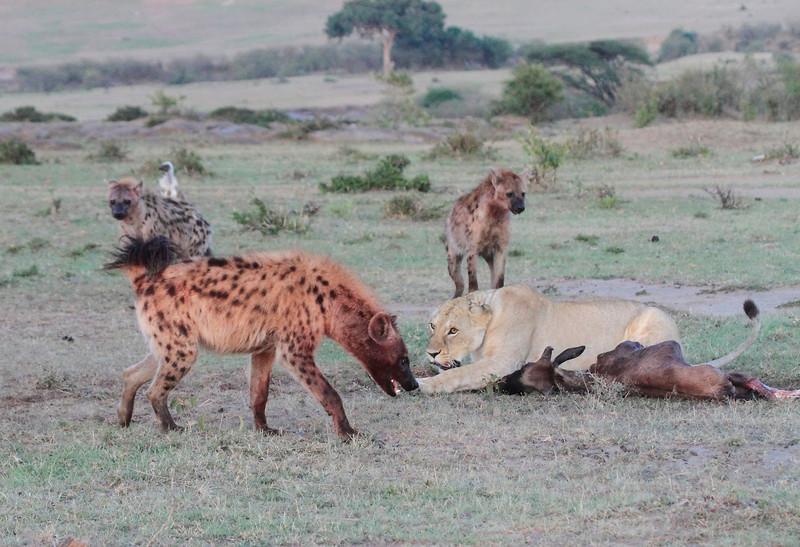 Hyena at Kill Lions Wildebeest Mara Topi House