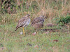 Spotted Thick-knee Mara Topi House