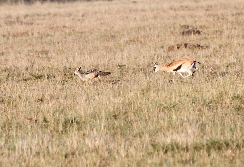 Thompson's Gazelle chasing Black Backed Jackal
