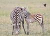 Zebra Mara Topi House