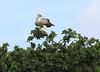 Immature Martial Eagle Topi House Mara