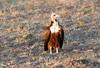 Hooded Vulture Mara Topi House