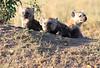 Spotted Hyena pups at Den Rekero Mara