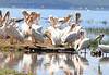 Lake Naivasha Kenya White Pelican
