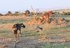 Vulture Black Backed Jackal Hyena at Kill