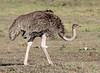 Ostrich Sex Mara Topi House