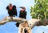 Ground Hornbill Mara Rekero