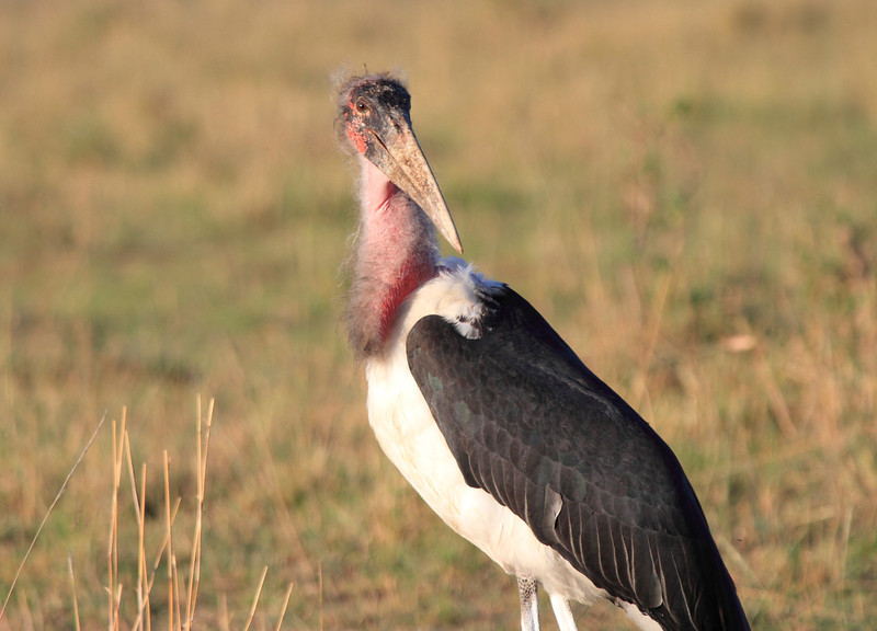 Marabou Stork Mara Topi House