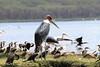 Marabou Stork Lake Naivasha Kenya