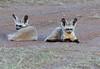 Bat Earned Fox Mara Rekero