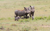 Baby Warthog with Mother Mara Topi House