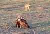 Hooded Vulture Black Backed Jackal Topi House