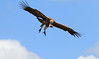 Ruppell's Griffon Flying Vulture Topi House Mara
