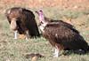 Hooded Vulture Topi House Mara