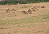 Banded Mongoose Mara Topi House