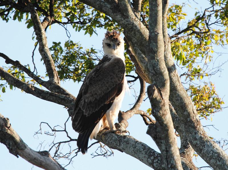 Immature Martial Eagle Mara Topi House