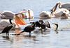 Lake Naivasha Kenya White Pelican Cormorants