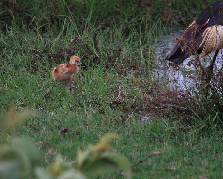 Crowned Crane Chick Kenya