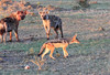Hyena Black Backed Jackal Top House Mara