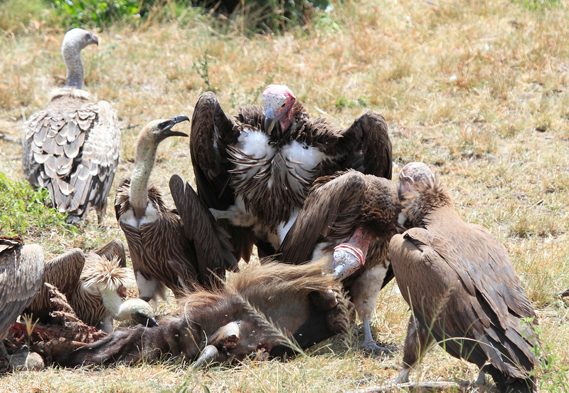 Ruppell's Griffon Vulture and Lappet Faced square off Mara Topi House