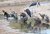 Bathing Marabou with Ruppell's Griffon Vulture Mara Topi House
