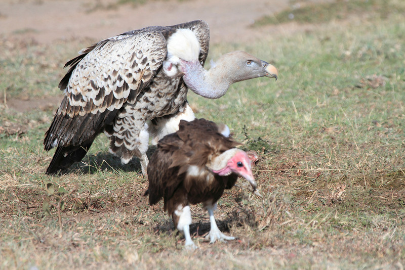 Ruppell's Griffon Vulture Topi House Mara Hooded Vulture
