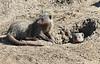 Dwarf Mongoose Mara Topi House
