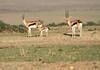 Thompson's Gazelle Family Topi House Mara
