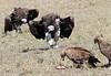 Lappet-faced Vulture Tawny Eagle Topi House Mara