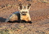 Bat Eared Fox Mara Rekero