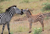 Zebra_Mara_TopiHouse (2)