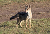Black Backed Jackal Mara Topi House