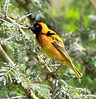 Black-headed Weaver Mara Rekero