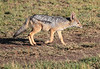Black Backed Jackal Mara