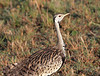 Black-bellied Bustard Mara