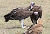 Lappet-faced Vulture and Tawny Eagle Topi House Mara