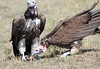 Lappet-faced Vulture Topi House Mara