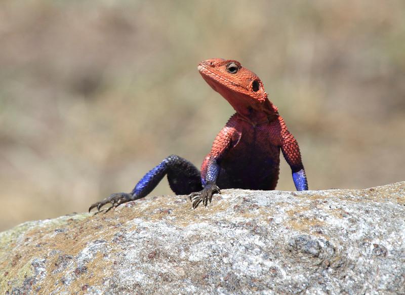 Agama Lizard Mara
