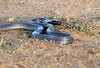 Black Spitting Cobra Mara