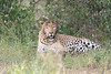 Leopard_Mara_Asilia_Kenya0012