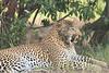 Leopard_Mara_Asilia_Kenya0008