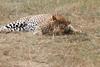 Leopard_Mara_Asilia_Kenya0019