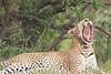 Leopard_Mara_Asilia_Kenya0016