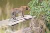 Leopard_Mara_Asilia_Kenya0004