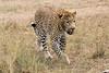 Leopard_Mara_Asilia_Kenya0002